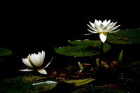 White Lotus Flowers in the Bethesda Fountain