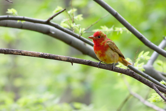 Juvenile summer tanager - photo#8